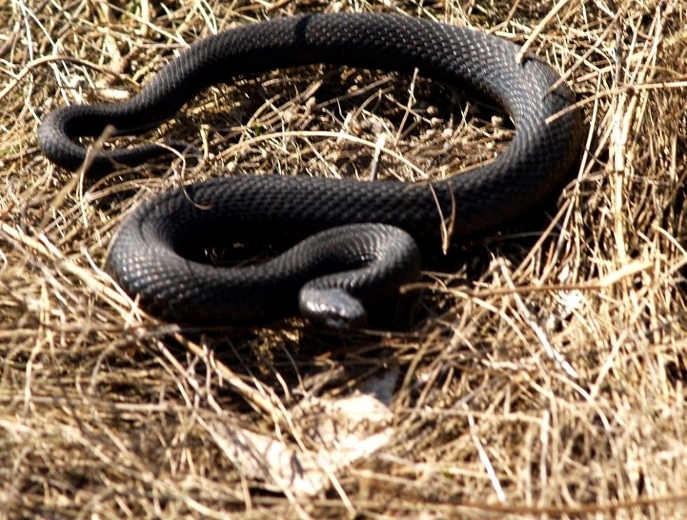 змія укус