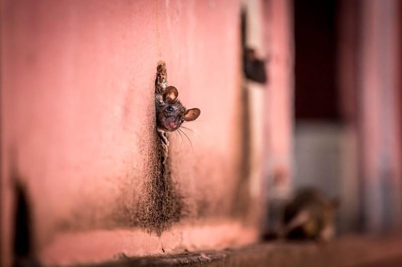 2. Хто стукає у двері до мене? Правильна відповідь: тікати щур на фоні.