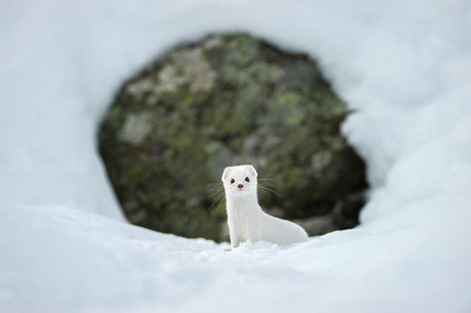 3. Білосніжна зима Горностай, приміряв зимову шубку.