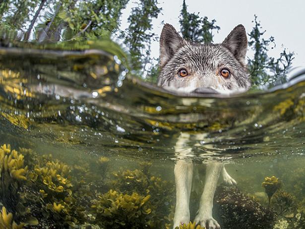 Фотограф і дослідник Іен Макаллістер упіймав на фото цього водяного вовка в Британській Колумбії.