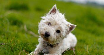 собаки нахиляють голову, коли слухають вас