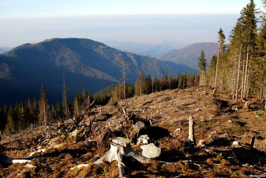 Карпати лисіють: ліс продовжують нищити - навіть на заповідній території