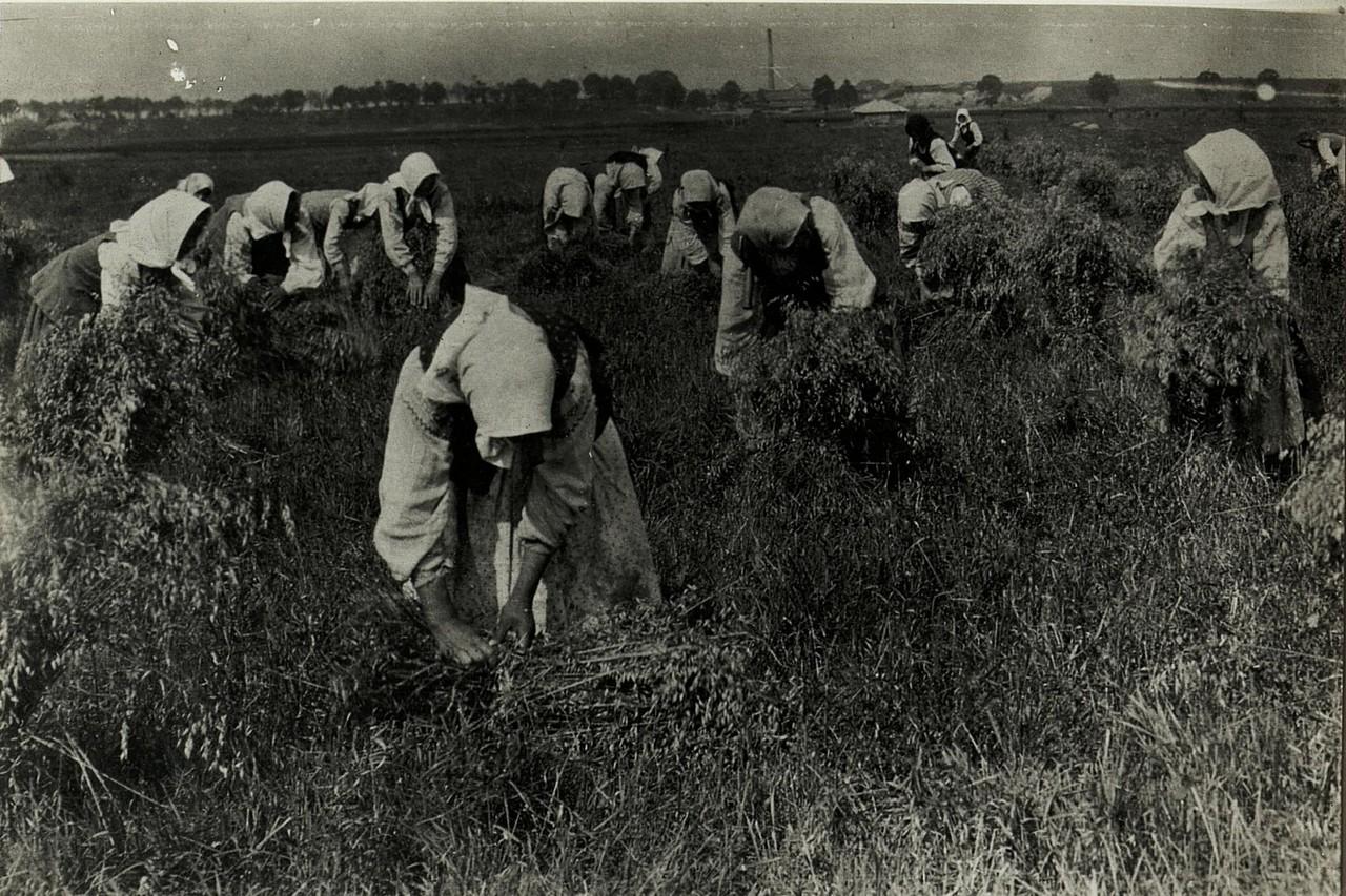 Збір врожаю в районі Стрия, Галичина, початок 20 століття.