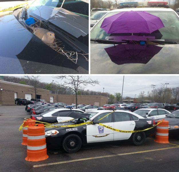 Поліцейська машина стоїть без діла - пташка влаштувала в ній гніздо і її вирішили не турбувати