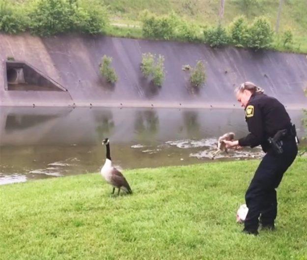 Ця гуска не відставала від поліцейської і вимагала, щоб та пішла за нею. Потрібно було врятувати гусеня.