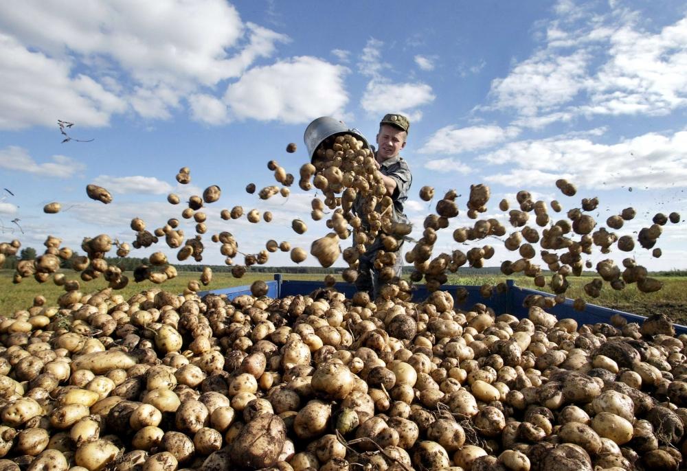 картопля армія