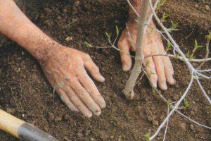 На Львівщині упродовж п'яти років висадять 65 тис. гектарів лісу