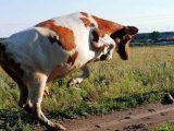 На Львівщині корова вбила власну господиню