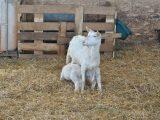 На Львівщині з'явилася «австрійська» овеча ферма