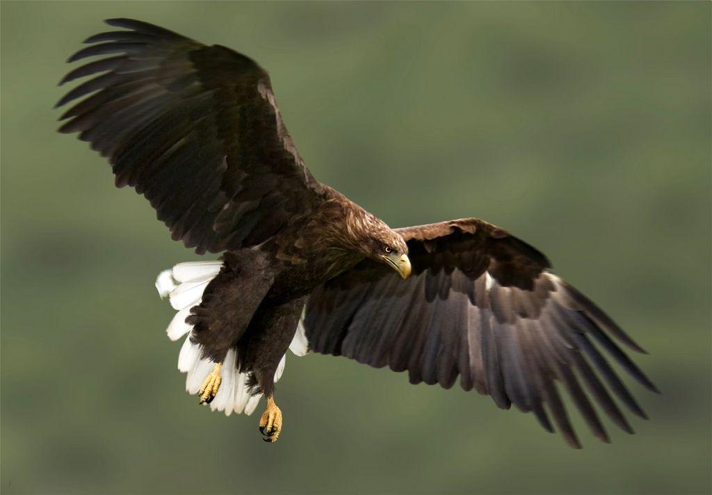 Політ орлана-білохвоста