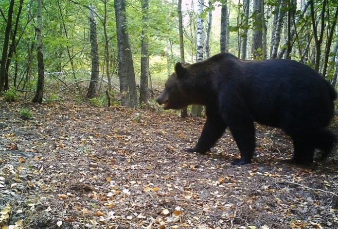 У 30-кілометровій зоні з'явилися навіть ведмеді, яких в тутешніх краях не було більше 100 років!
