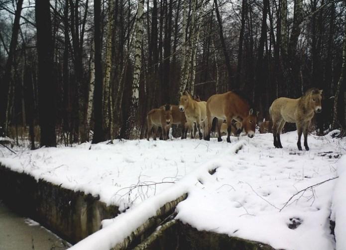 Перевезені на початку 90-х коні Пржевальського відмінно себе почувають.