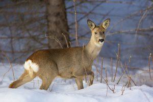 На Бродівщині затримали лісоруба-браконьєра, який відловлював диких звірів