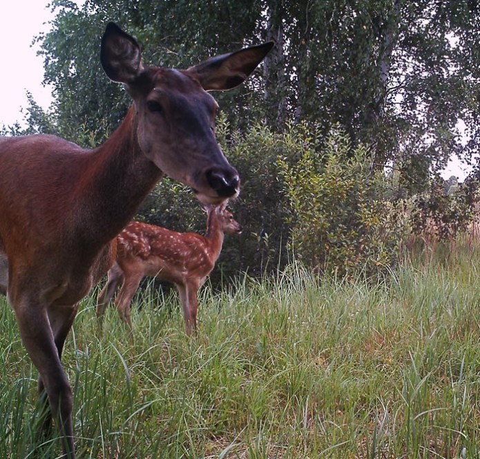 Самка оленя з оленятком.