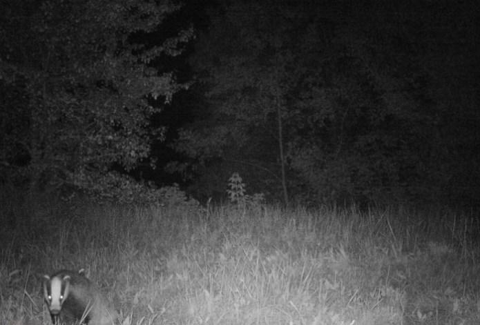 Тихо в лісі, тільки не спить борсук …