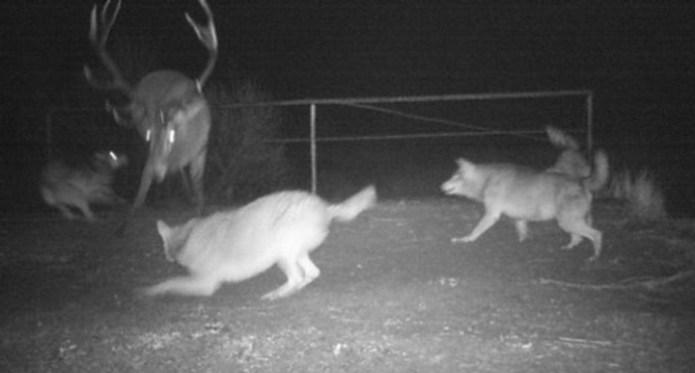 Вовки загнали оленя.