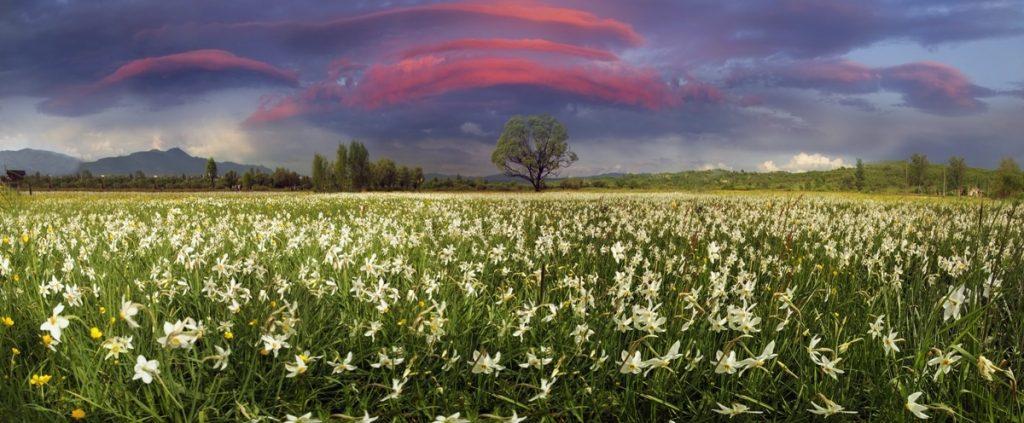 Закарпаття, м. Хуст. Долина Нарцисів. © Роман Михайлюк, shutterstock.com