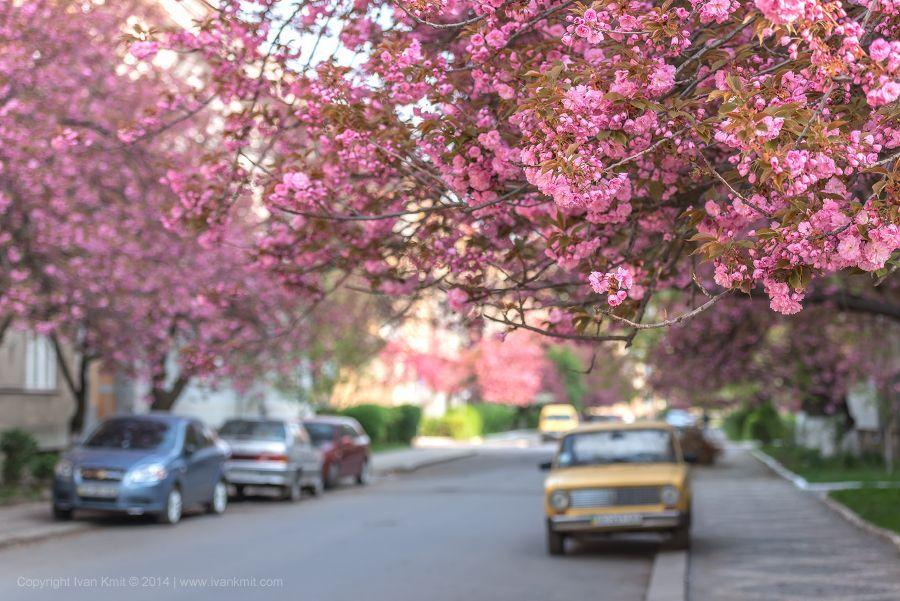 Цвітіння сакур в Ужгороді. © mesto.ua