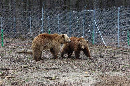 ведмідь ведмеді домажир