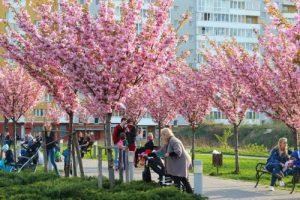 У Львові рясно зацвів парк із сакурами
