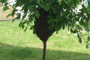 Тисячі диких бджіл залетіли у центр Львова (ФОТО)