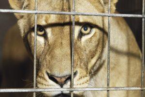 Тварин з цирків передадуть до заповідників
