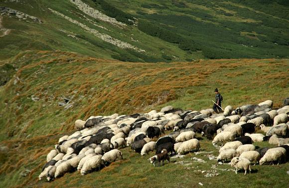 вівці отара