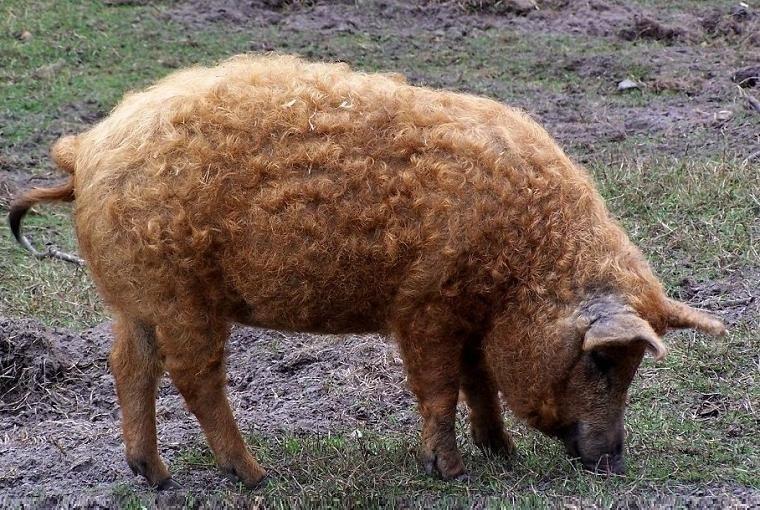 свині породи «мангалиця», які живуть у селі Ботар Закарпатської області
