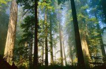 кедровий ліс