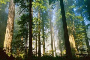Незайманий кедровий ліс росте у серці Карпат, на Тячівщині, на висоті 1400 метрів (ВІДЕО)