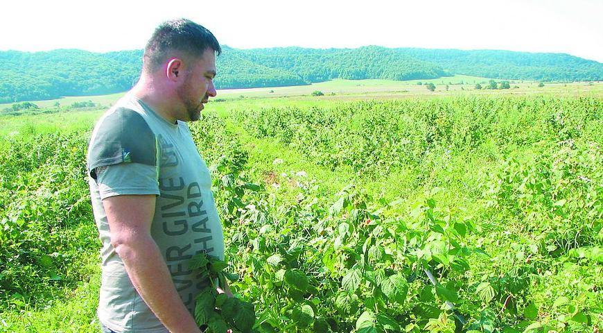 Фермер Андрій Косик показує малинову плантацію