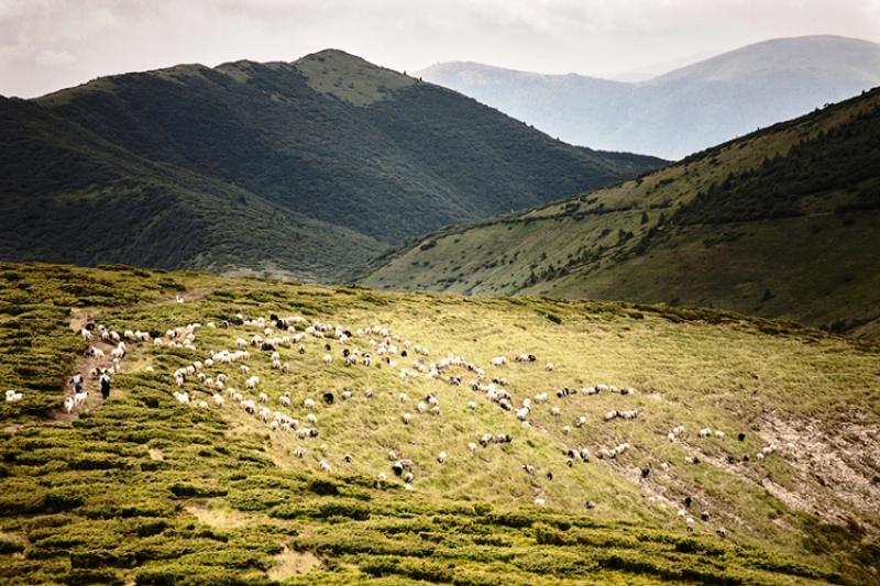вівці на карпатських полонинах