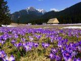 """""""Диво природи серед похмурої зими"""": на Закарпатті зацвів шафран (відео)"""