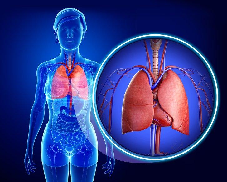 кровоносна система легені дихальна система