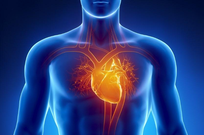кровоносна система серце