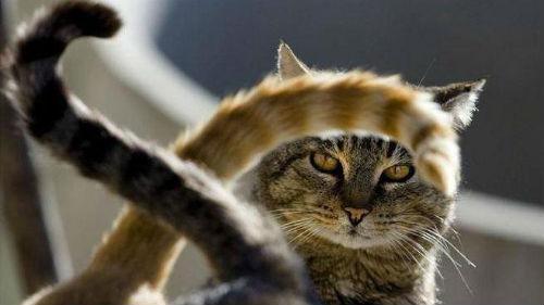 кіт хвіст