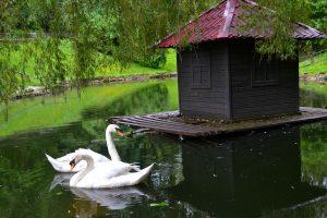 На озері в Стрийському парку знову появляться лебеді. Буде і пара нових чорних