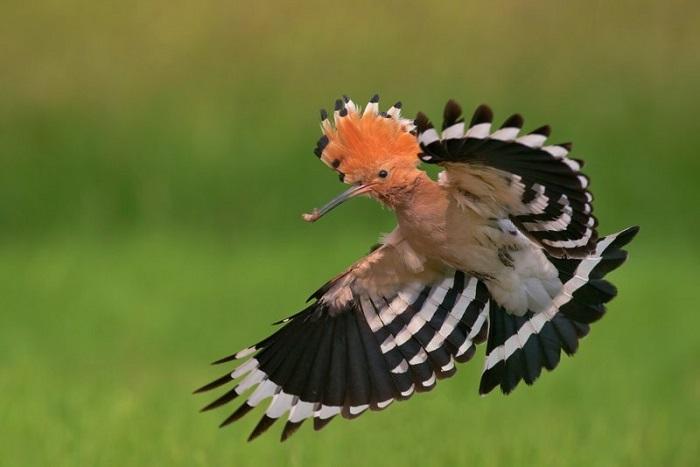 Рідкісна пташка удод з'явилася у парку