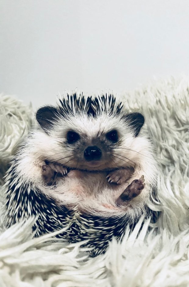 © instagram.com/rick_the_hedgehog