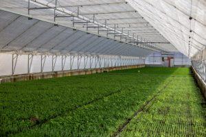 Як на Львівщині вирощують саджанці для відновлення карпатських лісів