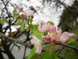 Природа дивує: на Львівщині восени зацвіли яблуні. ФОТО