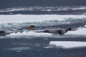 В Арктиці моржі атакували російський десантний катер та втопили його
