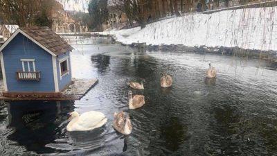 У Стрийський парк у Львові привезли лебедя, що замерзав на Скнилові