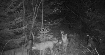 У «Сколівських Бескидах» полює велика вовча зграя (фото)